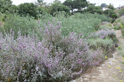 Photo Point 2. Purple Sage, Salvia leucophylla