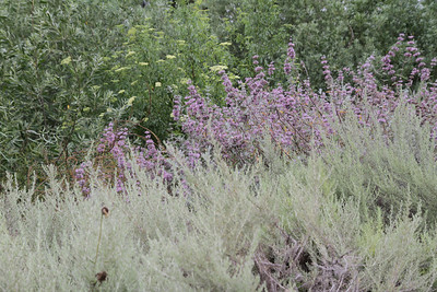 California Sagebrush, Artemisia californica, Purple Sage, Salvia leucophylla, and Blue Elderberry, Sambucus nigra L. ssp. caerulea
