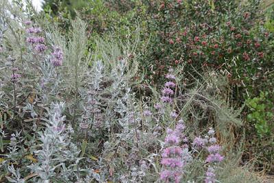Purple Sage, Salvia leucophylla, Artemisia, and Lemonadeberry