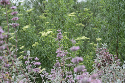 Purple Sage, Salvia leucophylla and Blue Elderberry, Sambucus nigra L. ssp. caerulea