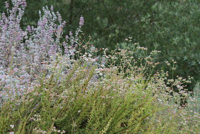 California Buckwheat, Eriogonum fasciculatum and Purple Sage, Salvia leucophylla