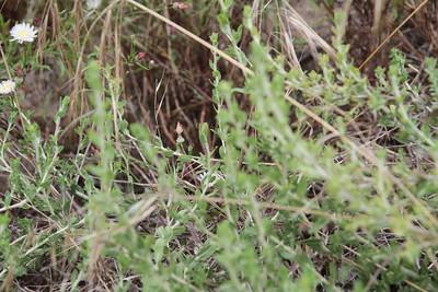 Sawtooth Goldenbush