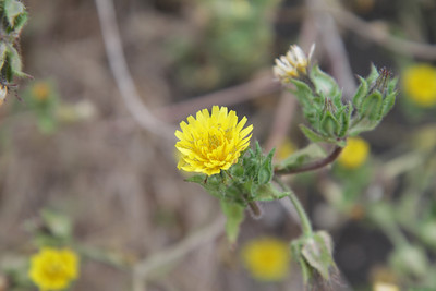 Bristly Oxtongue, Helminthotheca echioides, not native