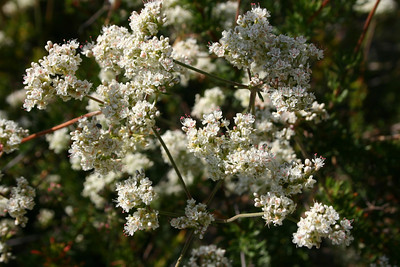 California Buckwheat, Eriogomum fasciculatum
