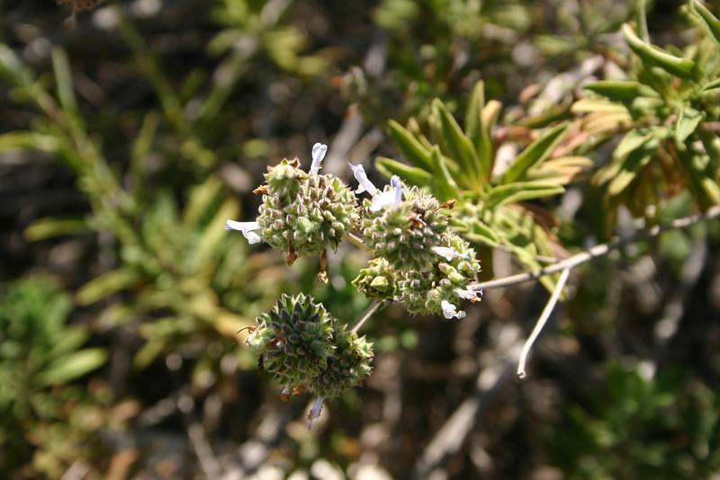 Black Sage, Salvia mellfera