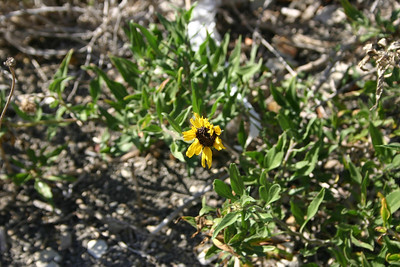 California Sunflower, Encelia californica