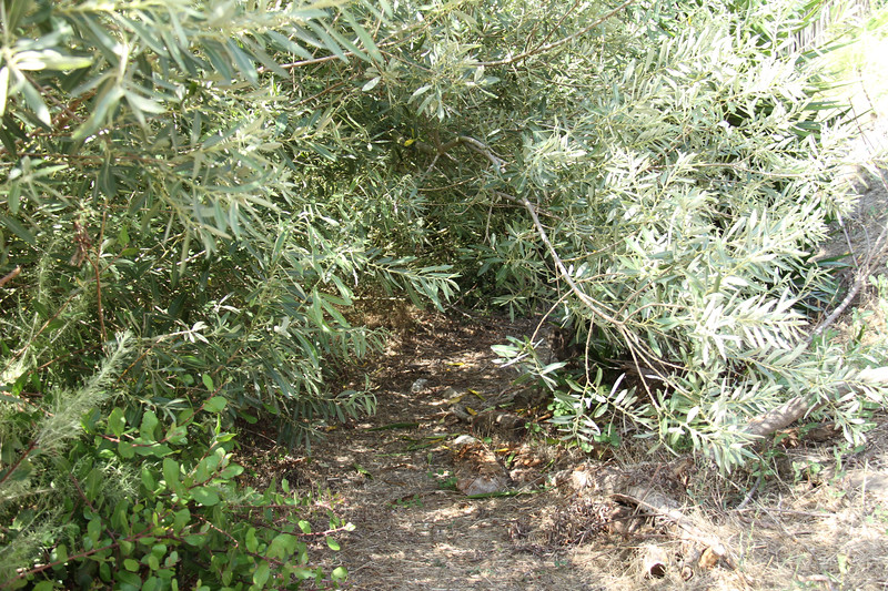 Near the end of the Conservancy's property, a willow is overtaking the trail.