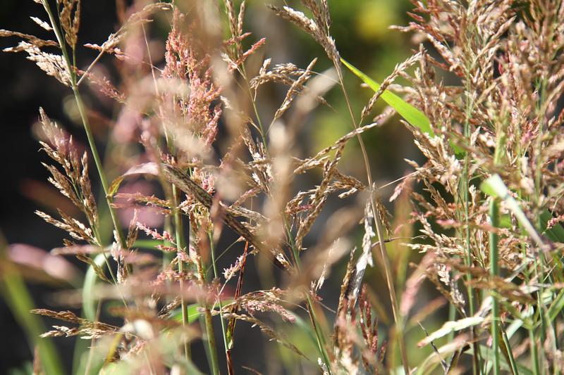Johnson Grass, Sorghum halepense, not native