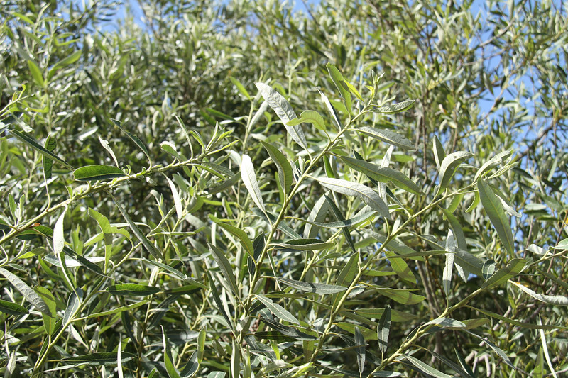 Arroyo Willow, Salix laseiolepis