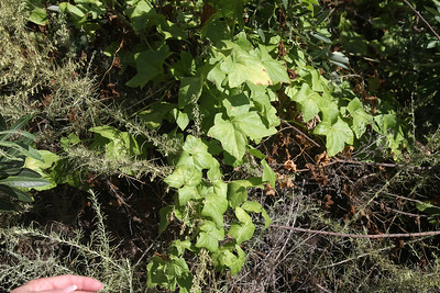 Wild Cucumber, Marah macrocarpus