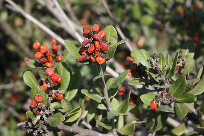 Lemonadeberry, Rhus iintegrifolia