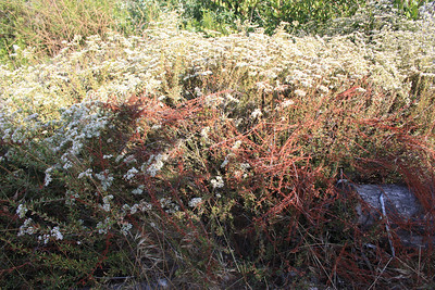 California Buckwheat, Eriogonum fasciculatum, with dead branches in foreground.