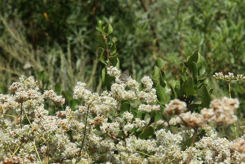 Gray Hairstreak on California Buckwheat, Eriogonum fasciculatum