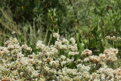 Gray Hairstreak on California Buckwheat, Eriogonum fasciculatum