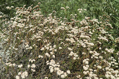 California Buckwheat, Eriogonum fasciculatum. There were lots of happy bees and butterflies on this bush.