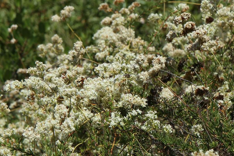Marine Blue (in the center of the photo) on California Buckwheat, Eriogonum fasciculatum.