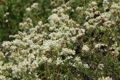 Marine Blue (in the center of the photo) on California Buckwheat, Eriogonum fasciculatum.