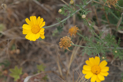 Garland Daisy, Chrysanthemum coronarium, not native