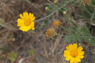 Garland Daisy, Chrysanthemum coronarium, not native