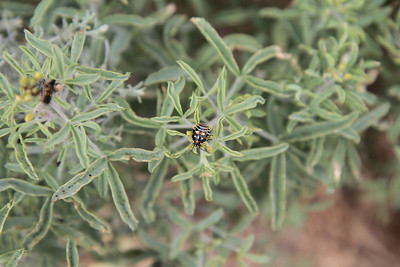 Bladderpod, Isomeris arborea with Harlequin Bug.