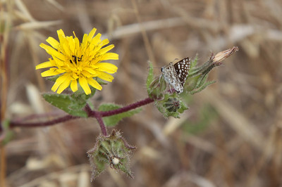White Checkered-Skipper, Pyrgus albescens