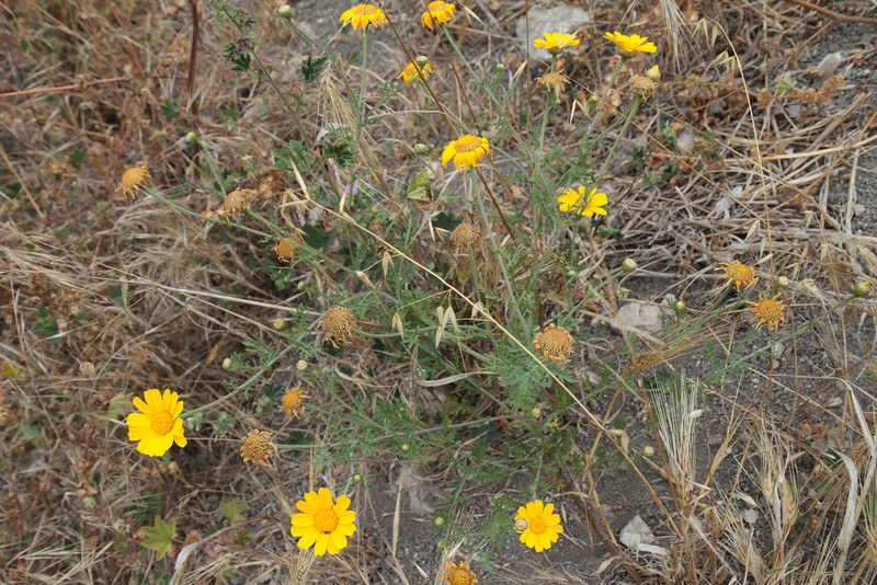 Garland Daisy, Chrysanthemum coronarium, not native. This is the first time I have seen this at Lunada Canyon.
