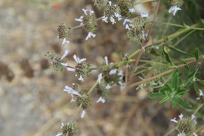 Black Sage, Salvia mellifera