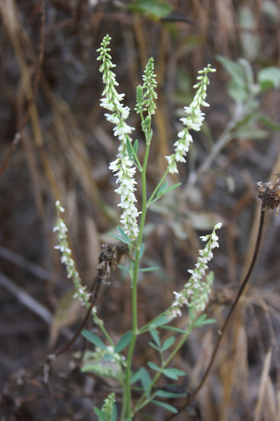 White Sweetclover, Melilotus albus, not native