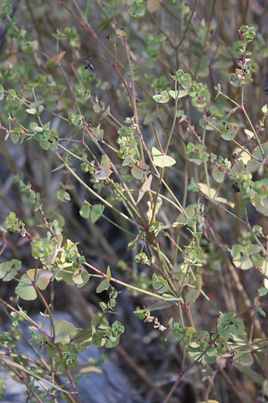 Spurge, Euphorbia terracina. Introduced from Kasmir, very invasive.