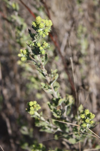 Sawtooth Goldenbush, Hazardia squarrosa
