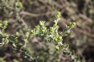 Saw-tooth Goldenbush, Hazardia squarrosa