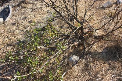 Lemonadeberry, Rhus integrifolia. New growth on goat-ravaged plant.
