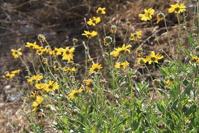 California Bush Sunflower, Encelia californica
