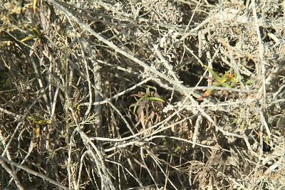 Sticky Monkey Flower, Mimulus aurantiacus