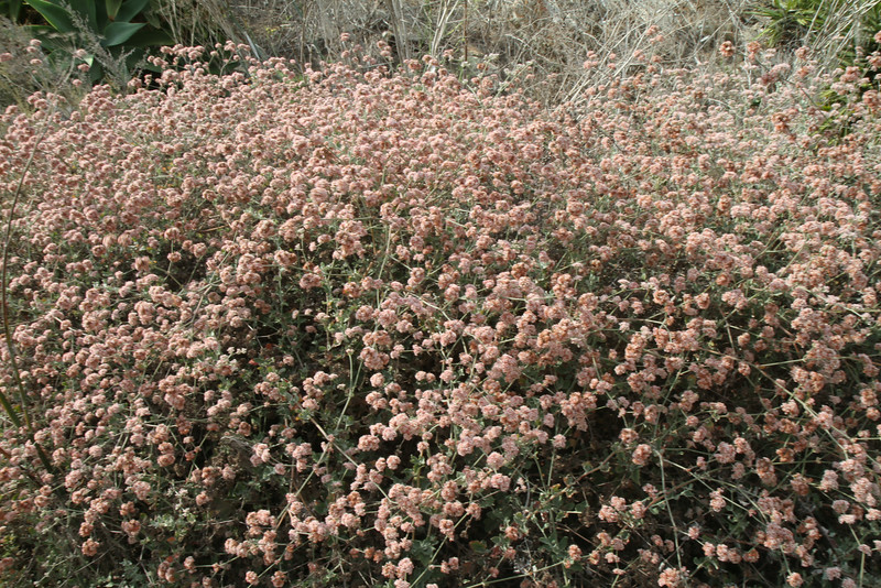 Ashyleaf Buckwheat, Eriogonum cinereum. A nice full bush with reddish flowers in back of the cherry tree.