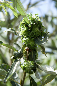 Arroyo Willow, Salix laseiolepis with gall.