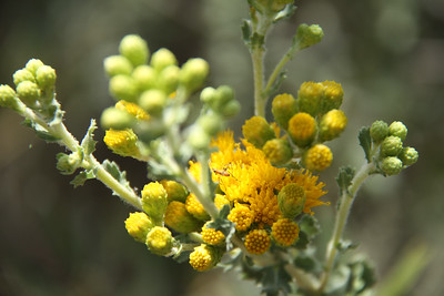 Coastal Goldenbush, Isocoma menziesii with bug.