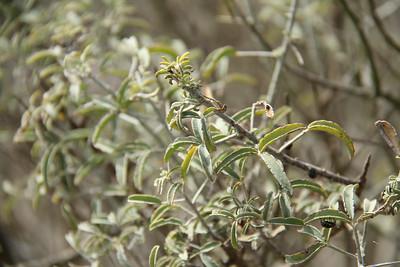 Bladderpod, Isomeris arborea with Harlequin Bugs.