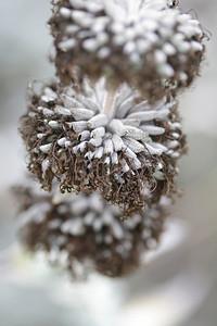 Purple Sage, Salvia leucophylla