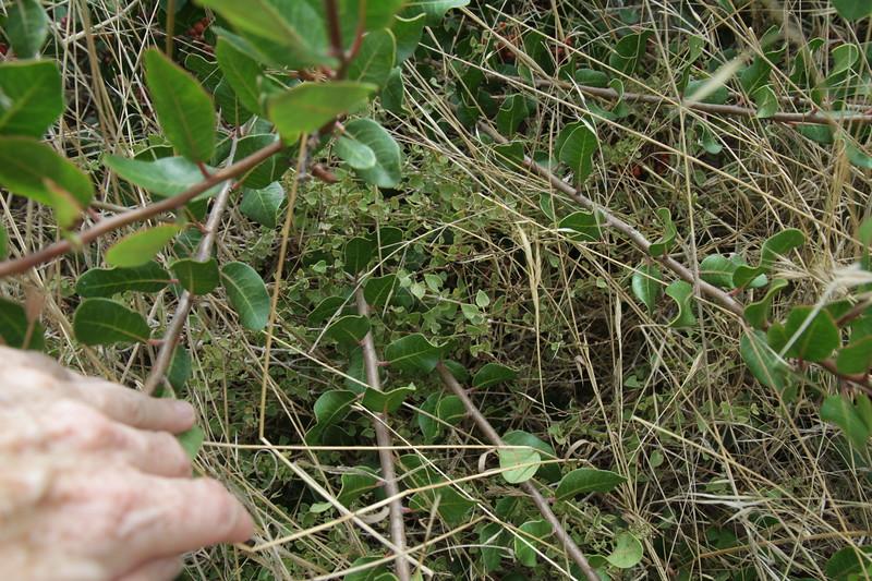 Wishbone Bush, Mirabilis laevis