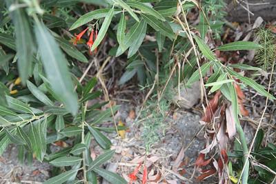 A new California Fuchsia, Epilobium canum.