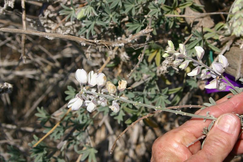 Long Leaf Bush Lupine, Lupinus longifolius