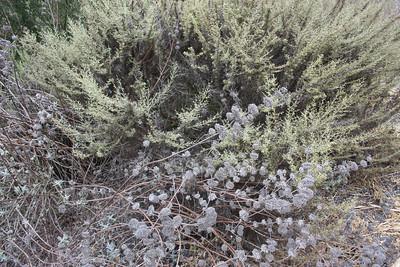 Purple Sage and Artemisia