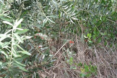 Another California Fuchsia, Epilobium canum (on the left side of path).