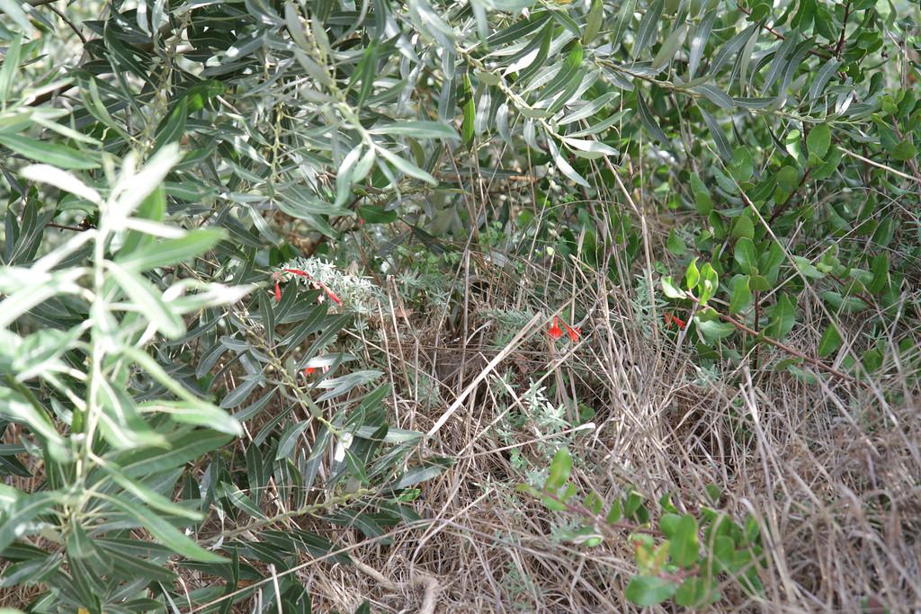 Another California Fuchsia, Epilobium canum (on the left side of path).
