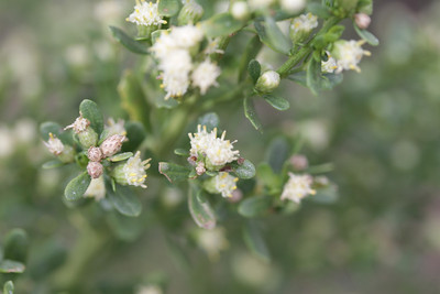 Coyote Bush, Baccharis pilularis, male plant.