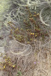 Sticky Monkey Flower, Mimulua aurantiacus