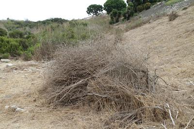 Brassica debris.