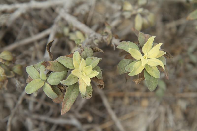 California Bush Sunflower, Encelia californica