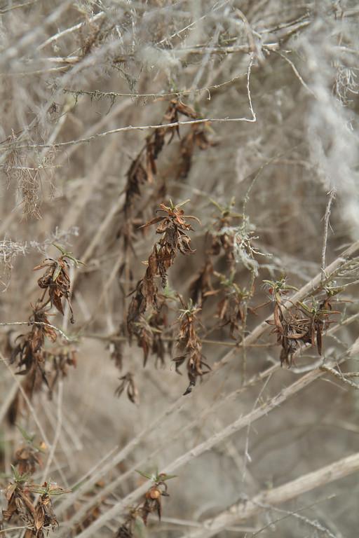 Sticky Monkey Flower, Mimulus aurantiacus, plant No. 3.